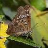 Hackberry Butterfly, Asterocampa celtis