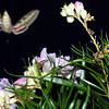 Whitelined Sphinx Moth, Hyles lineata