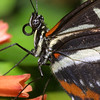 Heliconid butterfly, Heliconius sp.,