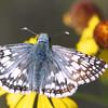 Common Checkered-Skipper, Pyrgus communis