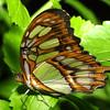 Malachite Butterfly, Metamorpha stelenes