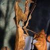 Dead Leaf Mantis,   Deroplatys sp.