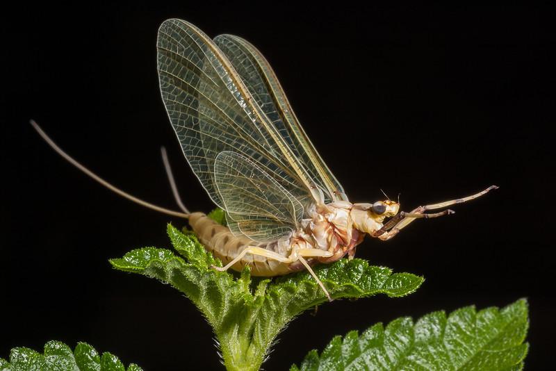 Mayfly Adult, Hexagenia sp.