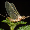 Mayfly Adult, Hexagenia sp.