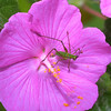 Grasshopper on Rock Rose,  Pavonia lasiopetala (flower)