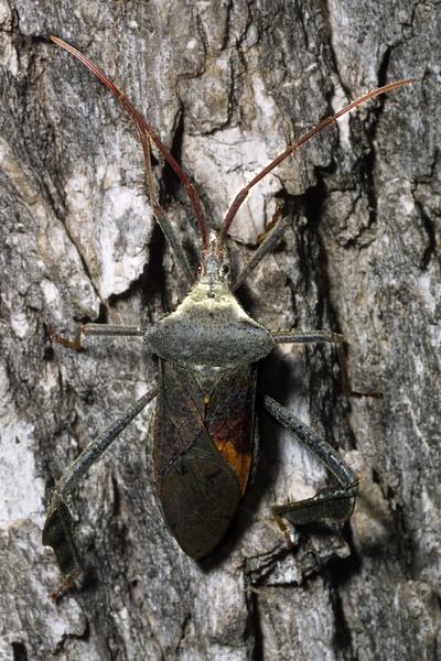Coreid Bug, Acanthocephala declivis