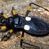 White-eyed assasin bugPlatymeris biguttata