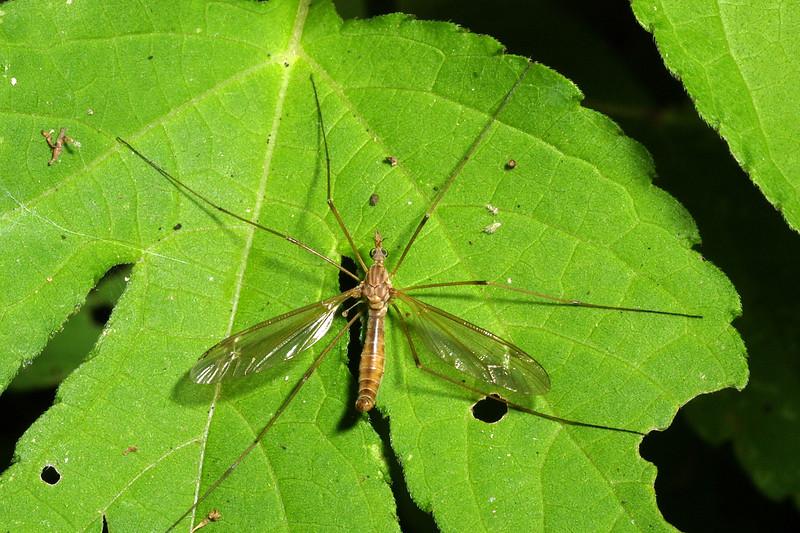 Crane fly, Tipulidae