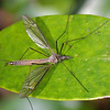 Crane Fly, Tipula sp.