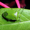 Sounthern Green Stinkbug, Nezara viridula