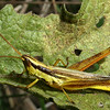 Two-Striped Grasshopper, Mermiria bivittata