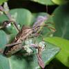 Leaf Footed Bug, Leptoglossus phyllopus