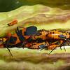 Large Milkweed Bug, Oncopeltus fasicatus