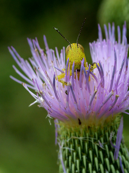 Grasshopper on Thistle,  Orthoptera on Cirsium sp.