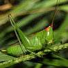 Grasshopper, Orthopteran