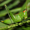 Texas Grasshopper