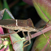 Leaf Footed Bug, Leptoglossus phyllopus