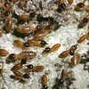 Termites, Class Insecta: Order Isoptera