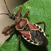 Bee Assassin Bug, Apiomerus sp.