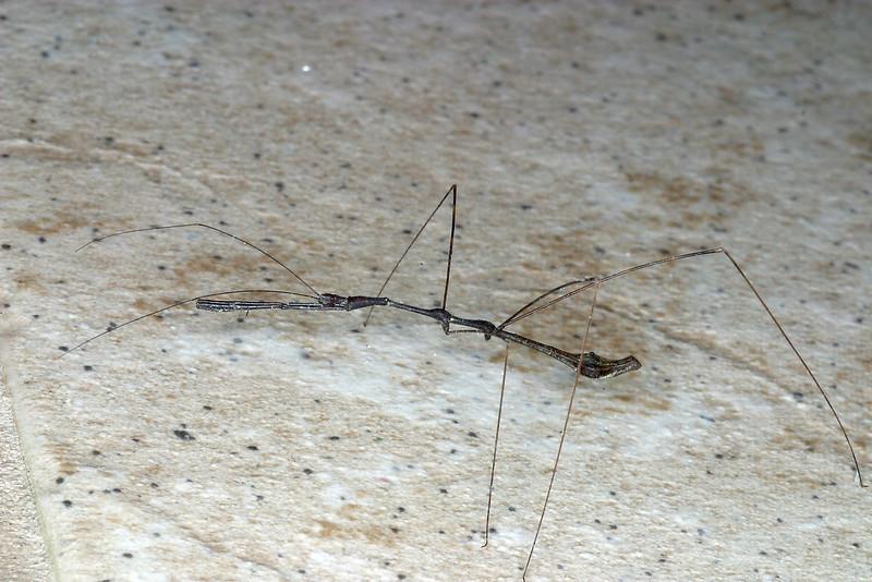 Walking Stick, Diapheromera sp.