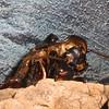 Madagascar Hissing Roach, Gromphadorhina portentosa