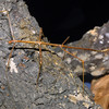 Giant Walking Stick, Order Orthoptera