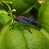 Redshouldered Bug, Jadera haematoloma