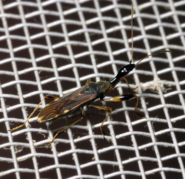Long-necked Seed Bug, Myodocha serripes