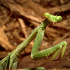 Carolina praying mantis, Stagmomantis sp.