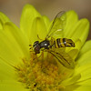 Flower FlyDiptera: Syrphidae