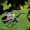 Wheel Bug, Arilus cristatus