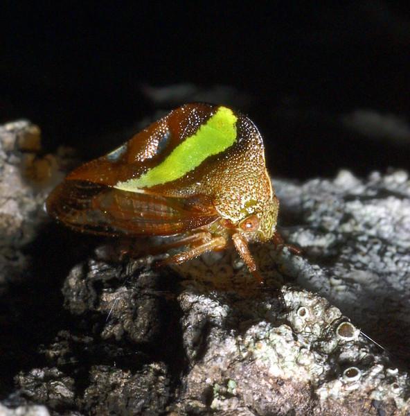 Treehopper, Homoptera, Membracidae