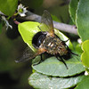 Parasitic Fly, Tachinidae