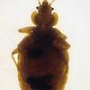 Bedbug, Cimex lectularis