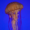 Pacific Sea Nettle, Chrysaora fuscescens