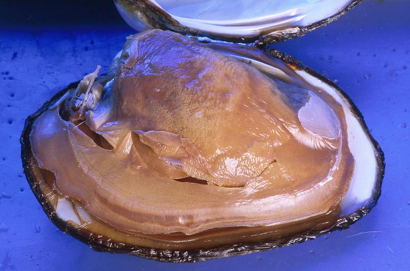Freshwater mussel, Anodonta sp.