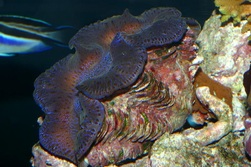Giant Clam, Tridacna sp.