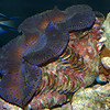 Giant Clam, Tridacna sp.