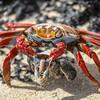 Sally Lightfoot Crab,   Grapsus grapsus