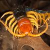 Texas giant centipede, Scolopendra heros