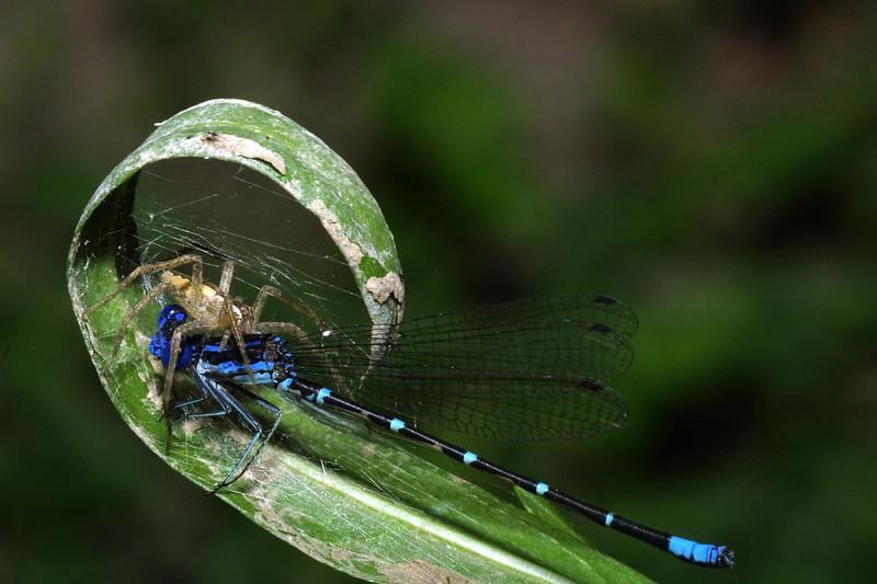 Nursery Web Spider with Damselfly Prey, Pisaurina mira eating Argia sedula