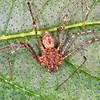 Recluse Violin Spider juvenile, Loxosceles reclusa