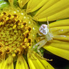 Rosinweed, Silphium sp. with immature crab spider