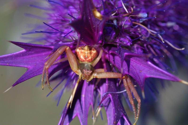 Crab Spider on Eryngo, Thomisidae on Eryngium leavenworthii