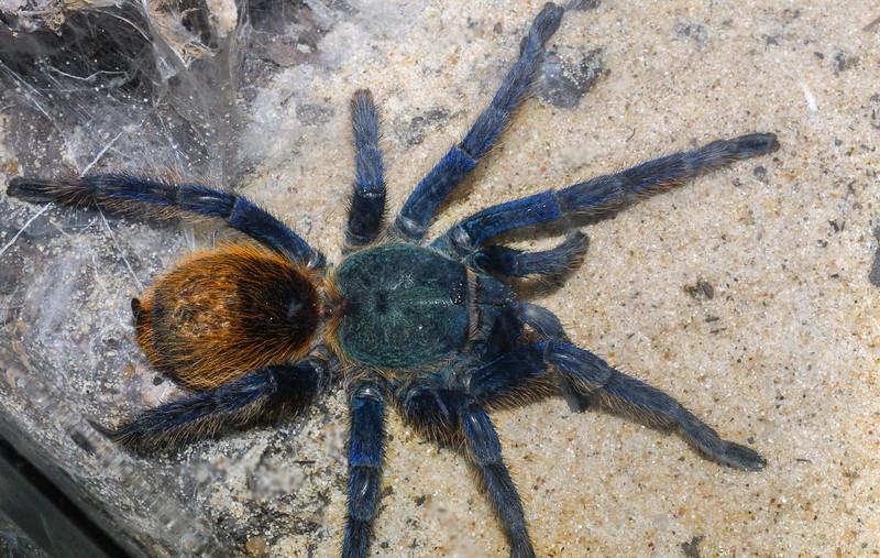 Green Bottle Blue Tarantula,  Chromoatopelma cyaneopubescens