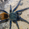 Green Bottle Blue Tarantula,  Chromoatopelma cyaneopubescens