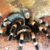 Mexican Red Kneed Tarantula, Brachypelma smithy