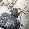 Tailless Whip Scorpion, Amblypygi