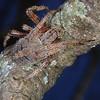 Bark lynx spider, Hamataliwa (likely) grisea