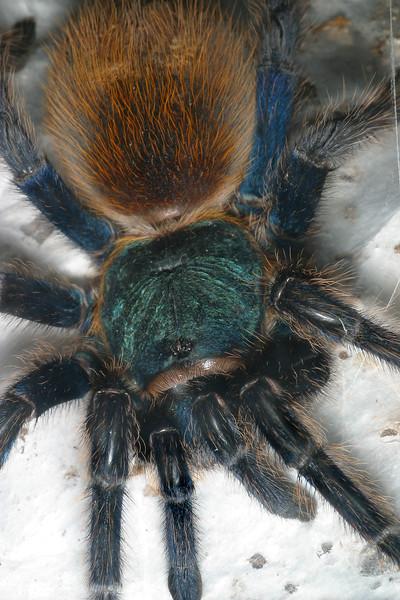 Greenbottle Blue Tarantula,  Chromatopelma cyaneopubescens